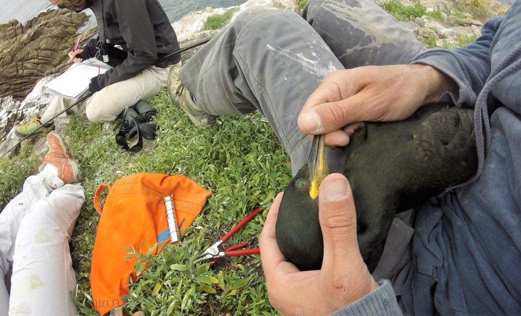 campagne de bagage des cormoran huppé avec Bretagne vivante