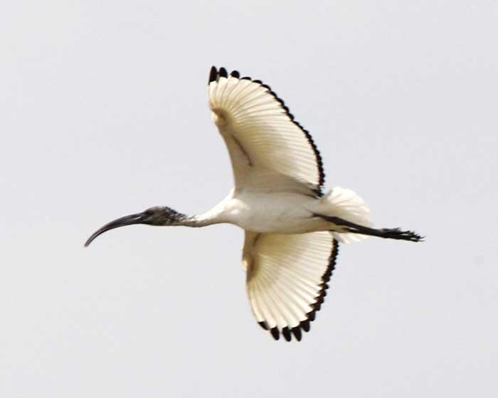 ibis sacre